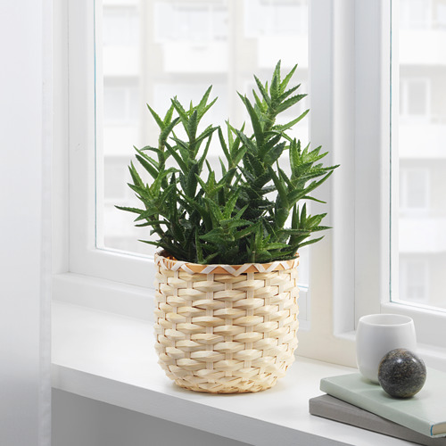 KAFFEBÖNA pot tanaman