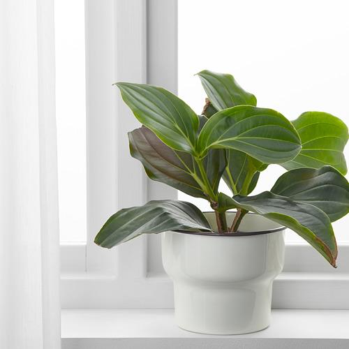 CITRONSYRA pot tanaman