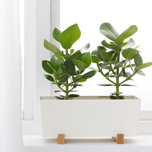 BITTERGURKA pot tanaman