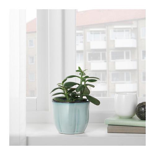 SÖTKÖRSBÄR pot tanaman