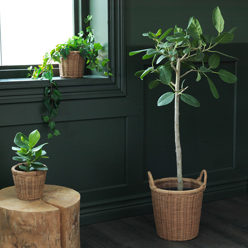 KAKTUSFIKON pot tanaman