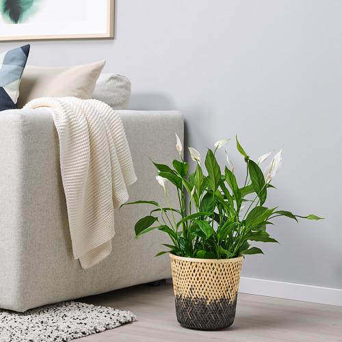 VATTENMELON pot tanaman