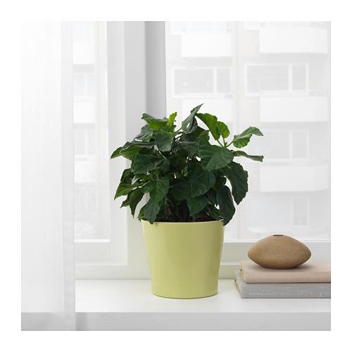 PAPAJA pot tanaman