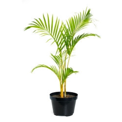 CHRYSALIDOCARPUS LUTESCENS 27 - Live plant, Palm (Yellow)
