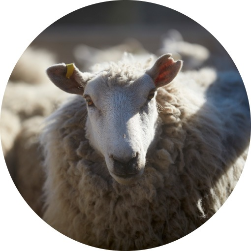 Growing on sheep, wool is a natural, sustainable and renewable material.