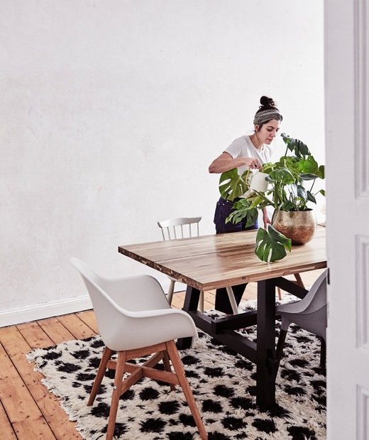 Julia watering a monstera plant on a large wooden table with chairs around it, next to a bare wall.