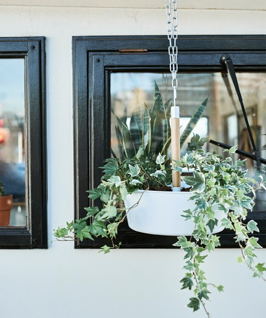 A hanging planter with trailing ivy.