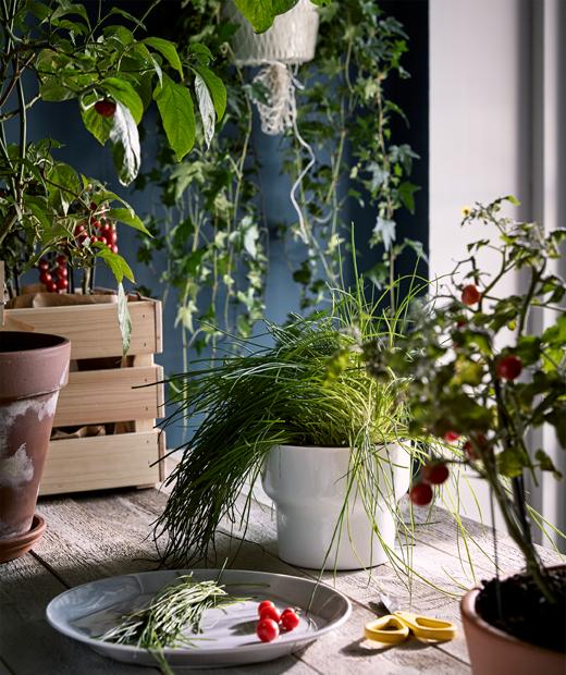 Sebuah meja kerja dari kayu di lingkungan seperti dapur dikelilingi berbagai tanaman dan sebuah piring dengan hasil panen tanaman hijau yang segar.