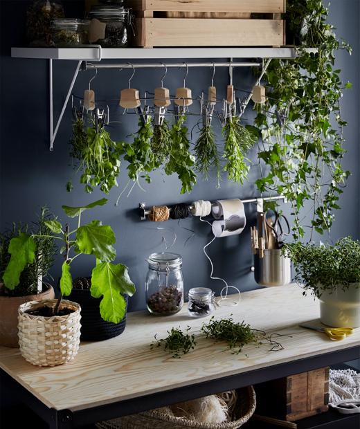 Sebuah meja kerja dari kayu dengan beberapa pot tanaman herba, sebaris rangkaian buket herba yang dikeringkan di gantungan.