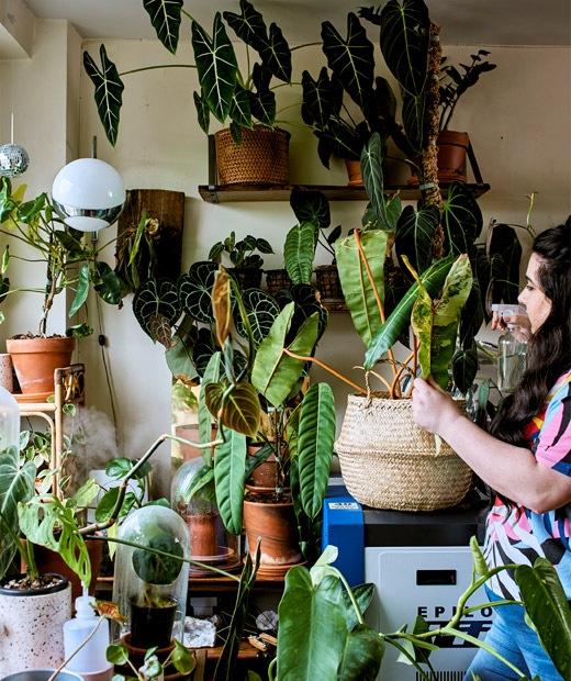 Seorang wanita muda sedang menyirami berbagai koleksi tanaman tropis langka yang diletakkan disebelah jendela ruang kerja di rumah.