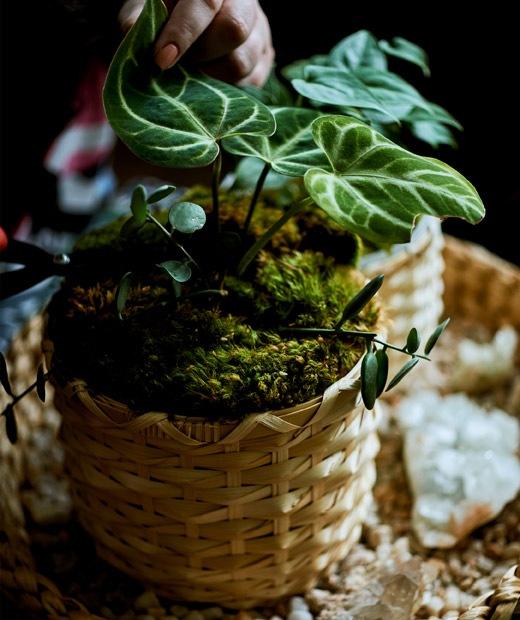Sebuah tanaman yang ditanam di pot bambu yang diletakkan di atas baki.