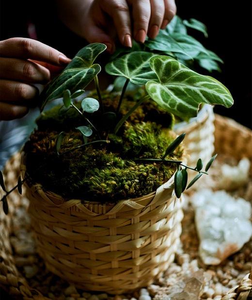 Tanaman yang ditutupi lumut yang ditanam dalam pot anyaman yang natural.